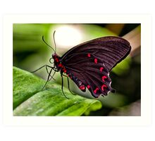 Velvet Rose Swallowtail  Art Print