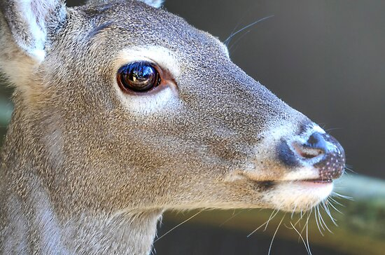Deer with a Freckled Nose by imagetj