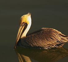 Pelican at Dark by Robert Brown