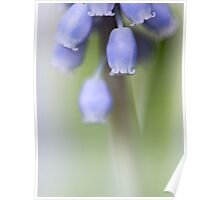 Grape Hyacinth IV Poster