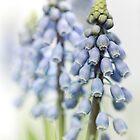Grape Hyacinth VI by Bob Daalder