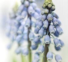 Grape Hyacinth VI by Bob Daalder