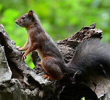 Squirrel by Peter Wiggerman