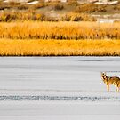 Coyote on Frozen Lake by homendn