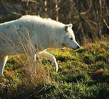 Arctic Wolf: On the Prowl by deb cole