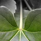 Boston ivy, Japanese Ivy, Parthenocissus tricuspidata by Carmel Abblitt