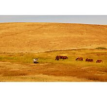 Grazing Horses in a Golden Field Photographic Print