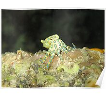 Greater Blue-ringed octopus Poster