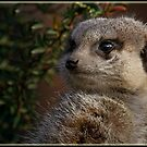 Meerkat by alan tunnicliffe