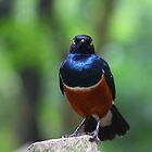 Angry looking African Superb Starling by eugenesim