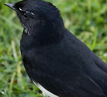 Willie Wagtail in the Park by Sandra Chung