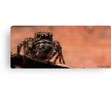 (Servaea vestita) Jumping Spider #7 Canvas Print