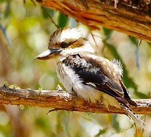 Ron's photo of the baby kookaburra by Alenka Co