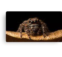 (Servaea vestita) Jumping Spider #8 Canvas Print
