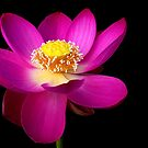 The Pink Lotus by Robyn Carter