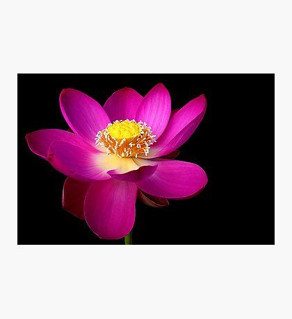 The Pink Lotus Photographic Print