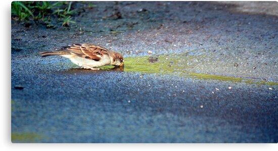 Little Hawaiian Sparrow by jayneeldred