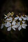 Milkmaids (Burchadia umbellata) #2 by Elaine Teague