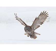 Great Gray Owl. Photographic Print