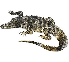 Alligator by joeredbubble