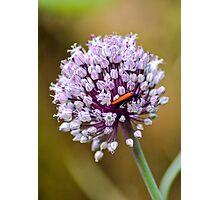 Leek flower Photographic Print