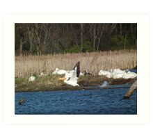 American White Pelican at Liftoff Art Print
