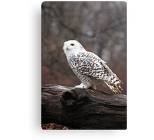 Snowy Owl Portrait ~ Canvas Print