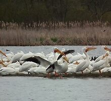 American White Pelican Stretches Wings by Deb Fedeler