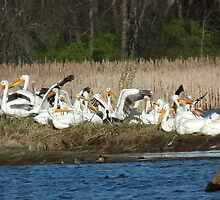 Group Stretch of American White Pelicans by Deb Fedeler