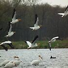 Multiple American White Pelicans in Flight by Deb Fedeler