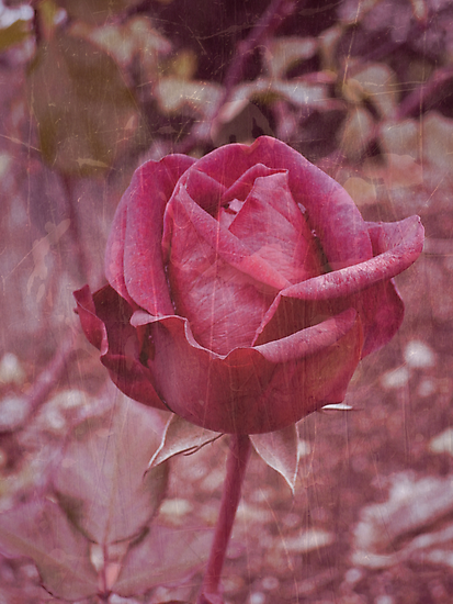 Red Rose by Jess Meacham