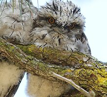 Baby Tawny Frog Mouth by Kym Bradley