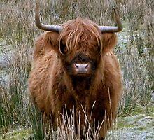 Highland Cow of Scotland by Aaron McKenzie