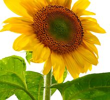 Sunflower Days by Paul Gitto
