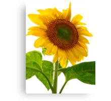 Sunflower Days Canvas Print