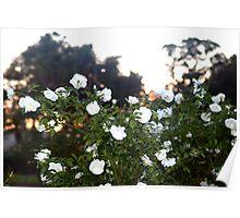 White roses at dusk Poster