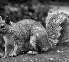 Squirrel by seanusmaximus