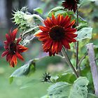 Orange Rusty Sun Flowers  by Sandra Foster