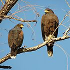 Harris's Hawks by Kimberly Chadwick