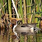 Northern Pintail (Male) by Kimberly Chadwick