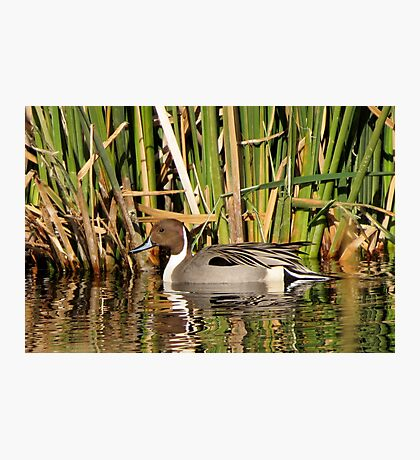 Northern Pintail (Male) Photographic Print
