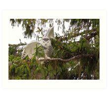 Sunset Hill Snowy Owl: Balancing on a Branch Art Print