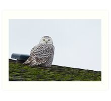 Sunset Hill Snowy Owl: Warming its Toes Art Print
