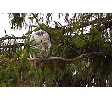 Sunset Hill Snowy Owl: Grooming its Toes Photographic Print