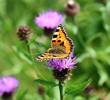 Small Tortoiseshell Butterfly by Rumyana Whitcher