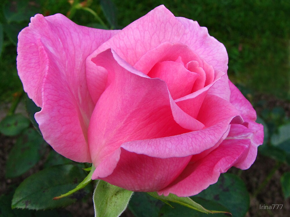 Pink Rose by Irina777