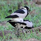 Blacksmith lapwings mating! by jozi1