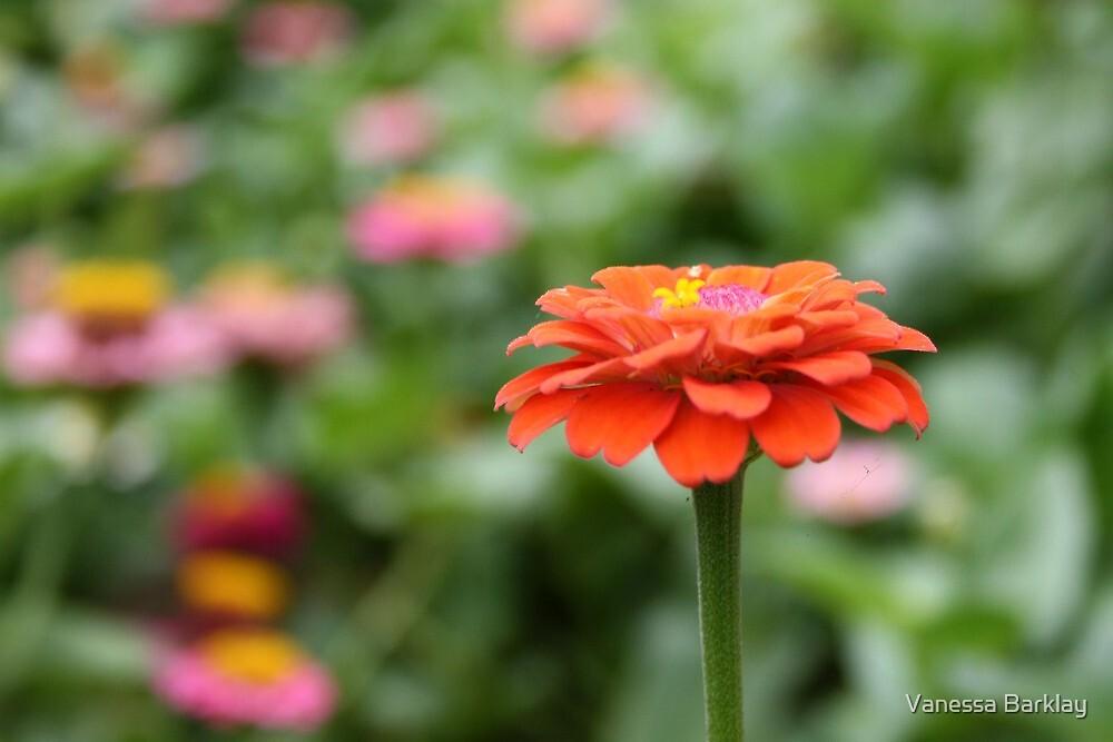 Orange Crush by Vanessa Barklay