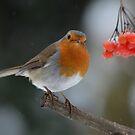 Robin in winter II by Peter Wiggerman