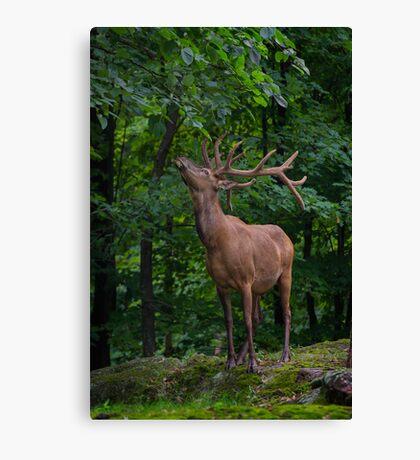 Eating Elk Canvas Print